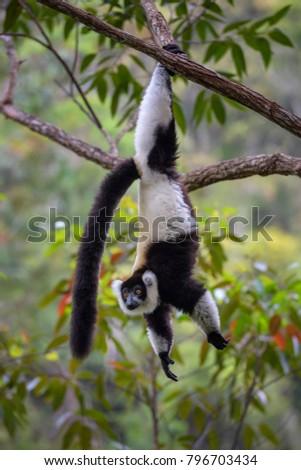 Black and White Ruffed Lemur - Varecia variegata, Madagascar. Beatifull primate. Critically endagered. Madagascar rain forest.