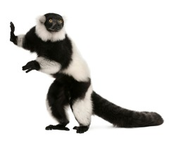 Black-and-white ruffed lemur, Varecia variegata, 24 years old, standing in front of white background