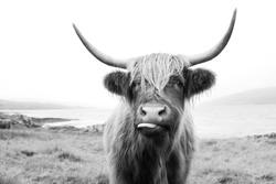 Black and White, Scottish Highland Cow on Isle of Mull