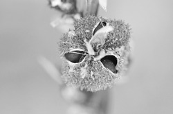 Black and white seed pod