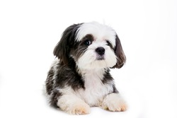 Black and white Shih tzu dog on white background.