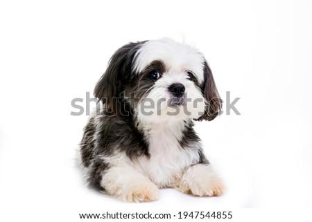 Black and white Shih tzu dog on white background. ストックフォト ©