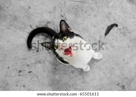 Black and white shorthair domestic cat staring at the camera look cute
