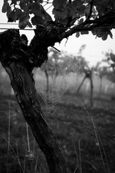 Black and White Shot of a Spiderweb on a grape vine after a rainy night. Vineyard in the fog in the background.