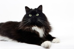 BLACK AND WHITE SIBERIAN CAT, FEMALE AGAINST WHITE BACKGROUND