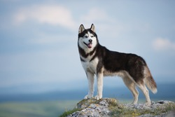 Black and white Siberian husky standing on a mountain in the background of mountains and forests. Dog on the background of a natural landscape. Blue eyes. A delightful dog. The dog grimaces.