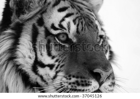 Black and White Siberian Tiger Close Up