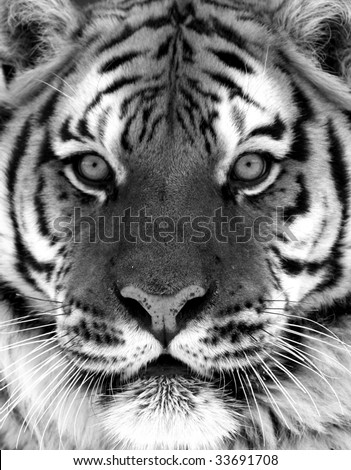 Black and White Siberian Tiger Portrait