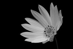 Black and white singular Lemon Symphony cultivar of Osteospermum flower in full bloom facing the left