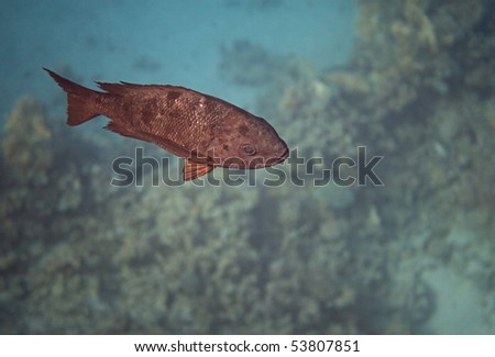 Black and white snapper. Flora and fauna of the Red Sea.