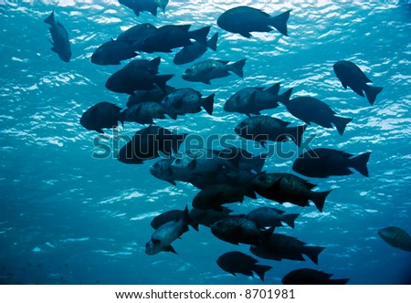 black and white snapper (Macolor niger)