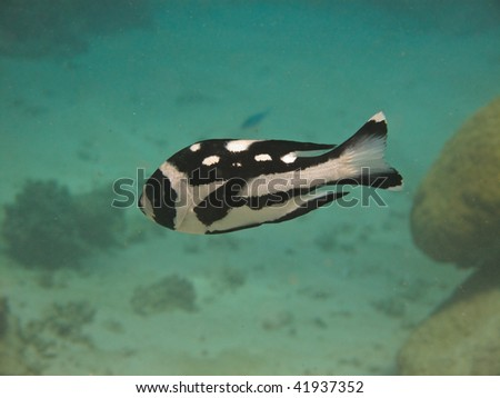 Black and White Snapper (Macolor Niger) Great Barrier Reef Australia