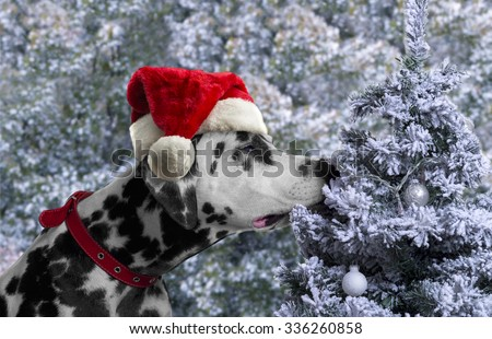 Black and white spotted dog breed Dalmatian in a Santa Claus hat curious sniffing a Christmas tree with toys covered with snow balls