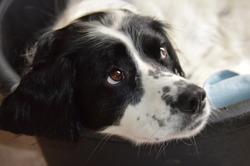 Black and white springer spaniel dog
