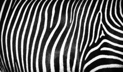 Black and white striped texture of wild zebra skin