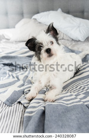Black and White Terrier Mix Dog Relaxing on Owner\'s Bed