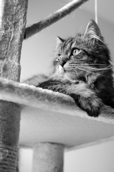 Black and White theme. Tabby cat lying and looking. Close up view. Vertical picture.
