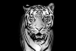 Black and white tiger face dark background