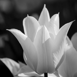 Black and white tulip blooming