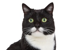 Black and White tuxedo cat with a mustache