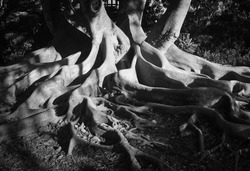 Black and White View of Curvy Fig Roots