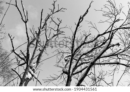 Black and white view of snow-covered branches against a clear sky Zdjęcia stock ©