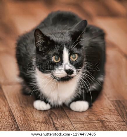black and white yellow-eyed plump cat
