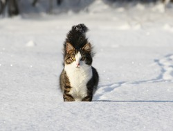 Black and white young cat with beautiful fluffy tail running on the fresh snow in the countryside.