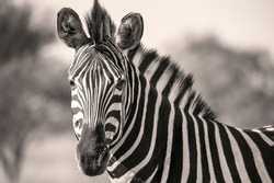 Black and White Zebra portrait from wild Africa