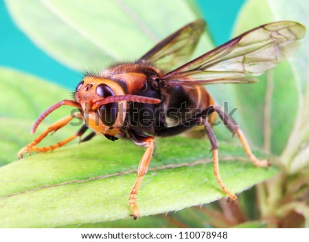 Black and Yellow Asian Hornet on a Green Leaf