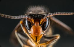 Black and Yellow Asian Wasp against black background