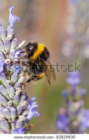 Black and yellow Bumble bee (Bombus terrestris)  collecting nectar and pollen from purple  lavender flowers.Norfolk  England.