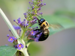 Black and yellow bumblebee pollenating on a purple butterfly bush flower bloom with its wings buzzing.  Insects in nature up close in macro photography shot.