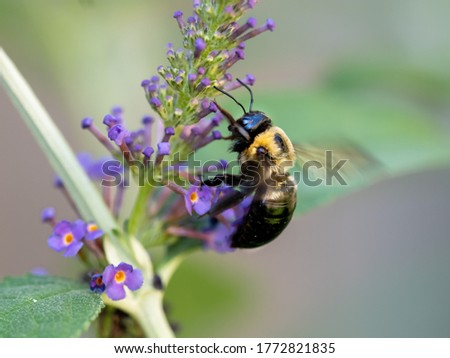 Photo of  Black and yellow bumblebee pollenating on a purple butterfly bush flower bloom with its wings buzzing.  Insects in nature up close in macro photography shot.