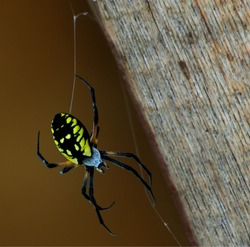 Black and Yellow Garden Spider, species Argiope aurantia, beginning a web