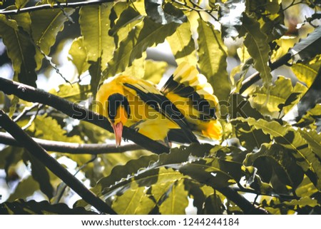 Black and yellow, Oriolus chinensis #1244244184