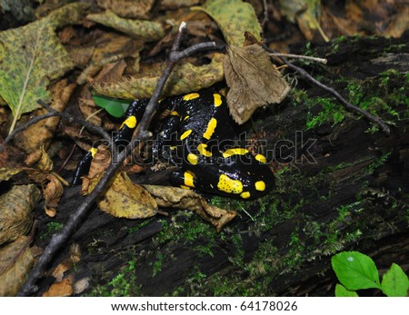 black and yellow salamander in the undergrowth