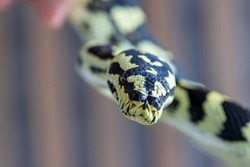 Black and yellow snake looking at the camera on blurred background. Macro, close up. Reptile background