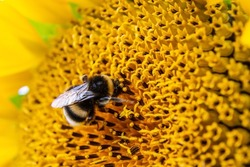 Black and yellow striped bee, honey bee, pollinating sunflowers close up low level view of single sunflower head with yellow petals and black seeds