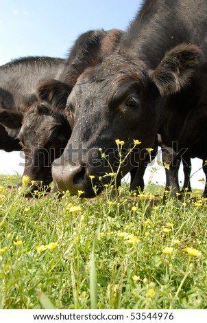 Black Angus and Buttercups at Crow Farm