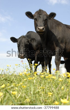 Black Angus and Yellow Flowers