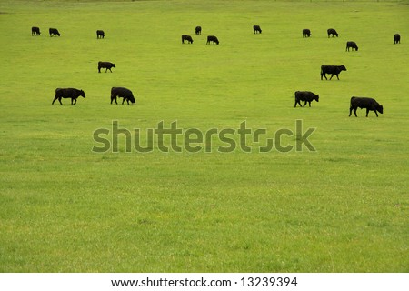 Black Angus beef cattle grazing in a lush pasture - stock photo