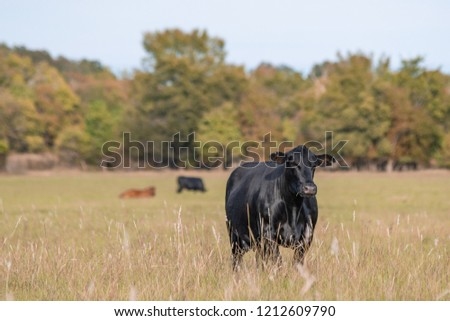 Black Angus beef cow standing in the foreground with other cows out of focus in the background in an autumn pasture. #1212609790
