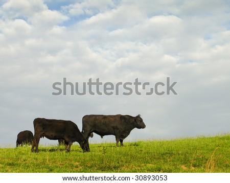 Black Angus Cattle grazing.