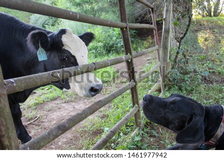 Black Angus Cow and Great Dane Dog Making Friends in Field #1461977942