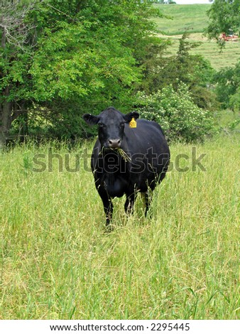 Black angus cow grazing in a Midwestern pasture
