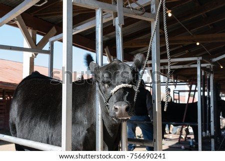 Black Angus heifer standing in a blocking chute before getting fitted for a livestock show. #756690241