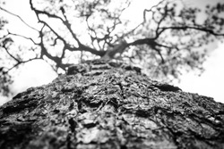 Black ans white color of a big tree on high mountain,Focus on middle of a tree and blurry on leaf and branch