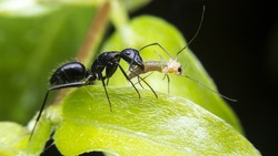 Black ant is eating insect