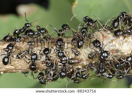 Black ants harvesting on aphids, extreme close up with high magnification and shallow depth of field